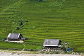 Paddy fields and village houses — Stock Photo