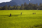 Peasants on a paddy field — Stock Photo