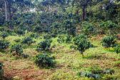 Coffee plantation — Stock Photo