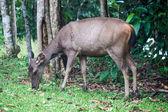 Herten in khao yai nationaal park — Stockfoto