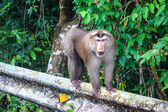 Macaque at Khao Yai National Park — Stock Photo