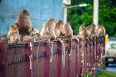 Monkeys in Lopburi — Stock Photo