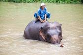 Mahouts bath their elephants — Stock Photo
