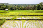 Paddy fields — Stock Photo