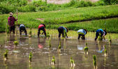 Local people plant a rice — Stock Photo