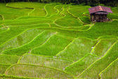 Paddy fields — Stock Photo