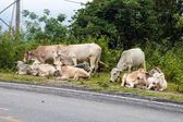 Cows by road — Stock Photo