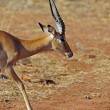 Antelope — Stock Photo #36586885