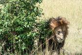 Lion — Stock Photo