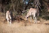 羚羊羚羊 — 图库照片