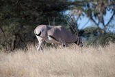 Antilopa oryx — Stock fotografie