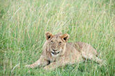 Leeuw — Stockfoto