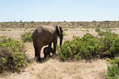 Elefante — Foto de Stock