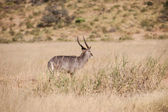 Oryx antelope — Stock Photo