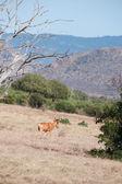 羚羊 — 图库照片