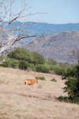 Antilop — Stockfoto
