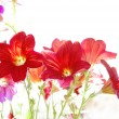 Red flowers on white background — Stock Photo