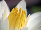 Macro Lotus flower — Stock Photo