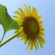 Close-up of sun flower against blue sky — Stock Photo #24763731