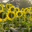 Beautiful bright sunflower field — Stock Photo #24763847