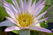 Close up of pink water lily — Stock Photo
