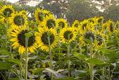 Beautiful bright sunflower field — Stock Photo
