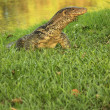 The Water monitor, (Varanus salvator) the large species of monitor lizard — Stock Photo
