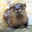 Otter portrait  — Stock Photo