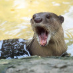 Otter portrait — Stock Photo #30928579