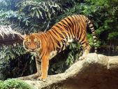 Royal bengálského tygra — Stock fotografie