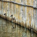 鹅 — 图库照片