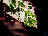 Leaf glowing in sunlight — Stock Photo