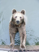 Brown Bear in the Water — Stock Photo
