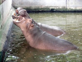 Hippopotamus showing huge jaw and teeth — Stock Photo