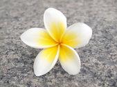 Tropical flower frangipani — Stock Photo