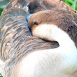 Close up image of a goose sitting — Stock Photo