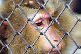 Sad Monkey in a cage — Stock Photo