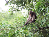 Macaque monkey sitting on a tree in its natural habitat  — Stock Photo