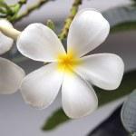 Blossom frangipani flowers — Stock Photo #43316053