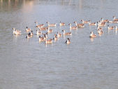 Gaggle of gray swimming in pond  — Stock Photo