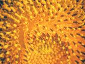 Sunflower closeup background — Stock Photo