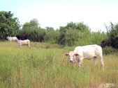 White cows in the pastures — Foto Stock