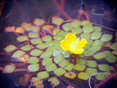 Leaf and flower on the surface of the water — Stock Photo