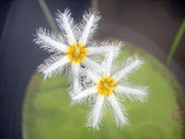 Nymphoides indica ,Water snowflake — Stock Photo