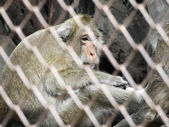 Monkey in a cage — Stock Photo