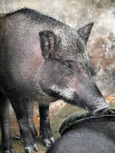 Caged wild hogs — Stock Photo