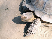 A giant galapagos turtle on a walk — Stock Photo