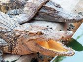 Crocodiles close up in Thailand — Stock Photo
