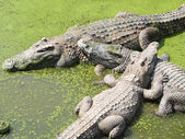 Crocodiles close up in Thailand — Stock Photo