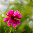Stock Photo: Purple Cosmos Flower Backlit by Evening Sun on Green Leaves Back